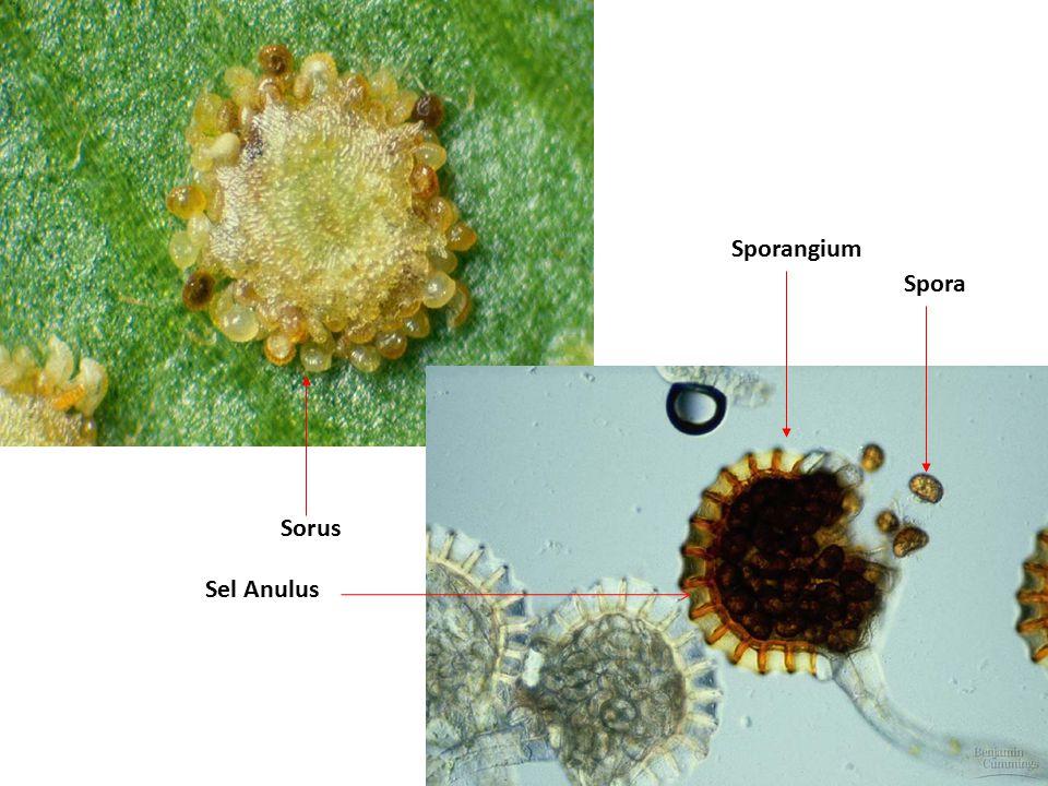 Sporangium Sorus Sel Anulus Spora