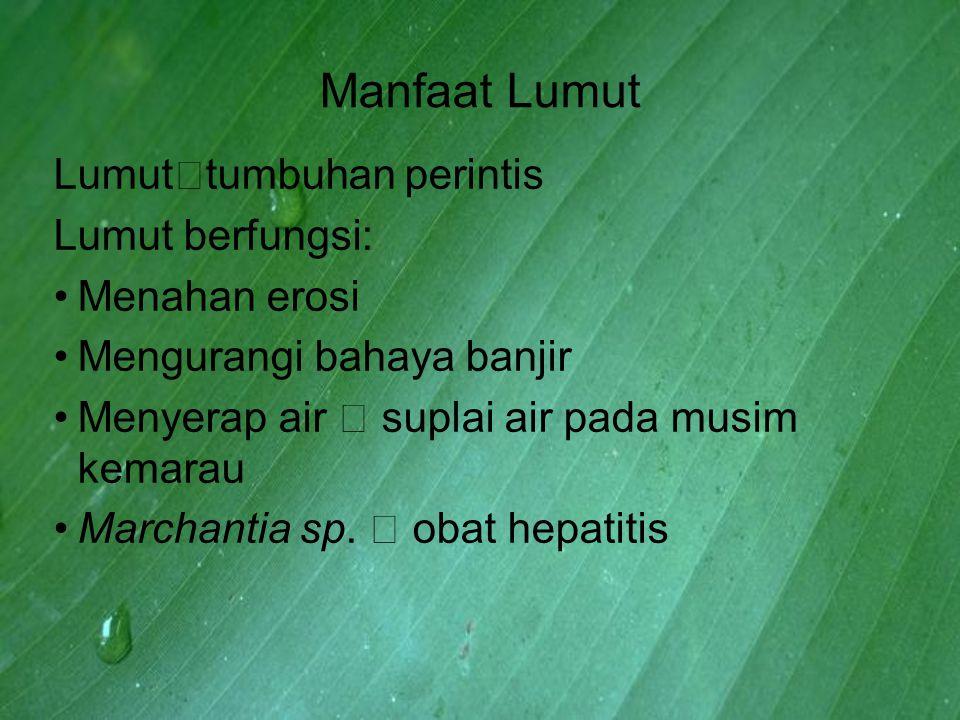 Manfaat Lumut Lumut  tumbuhan perintis Lumut berfungsi: Menahan erosi Mengurangi bahaya banjir Menyerap air  suplai air pada musim kemarau Marchanti