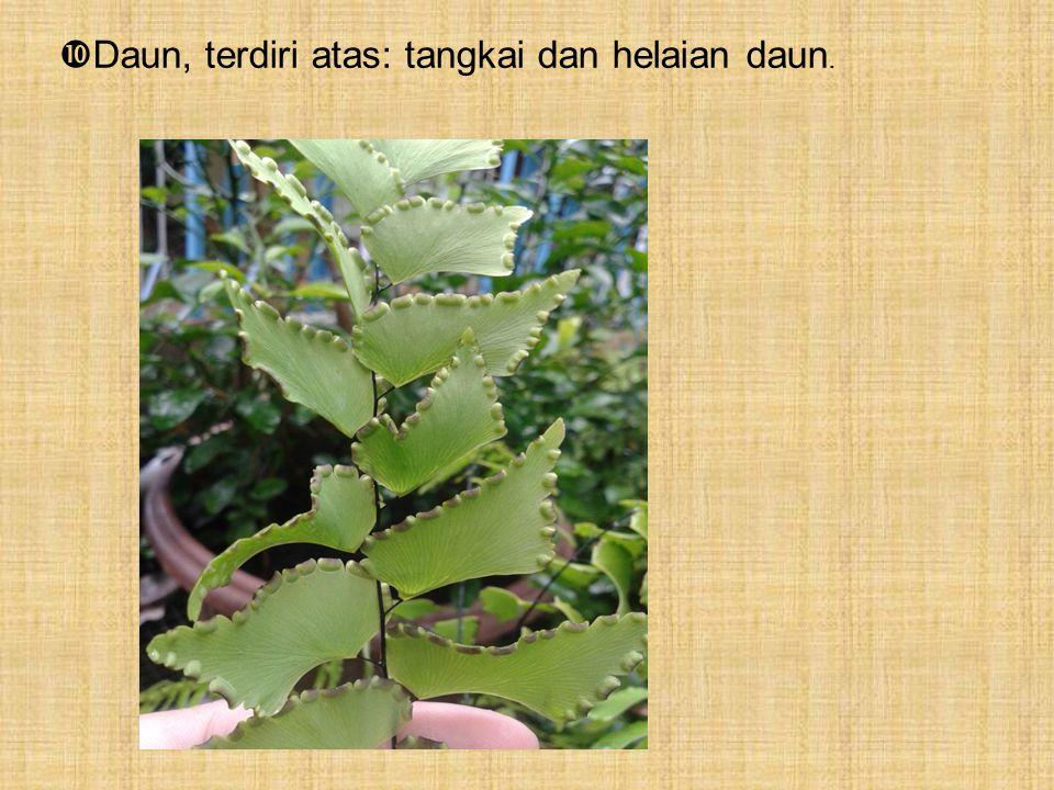  Daun, terdiri atas: tangkai dan helaian daun.
