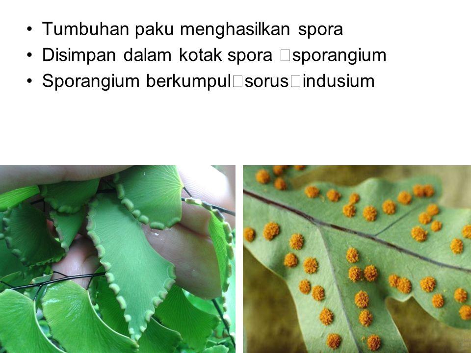 Tumbuhan paku menghasilkan spora Disimpan dalam kotak spora  sporangium Sporangium berkumpul  sorus  indusium