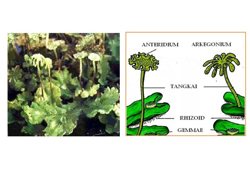 Lumut: -Homotalus  dalam satu talus (tubuh) menghasilkan arkegonium dan anteridium -Heterotalus  arkegonium dan anteridiumberada dalam talus yang berbeda.