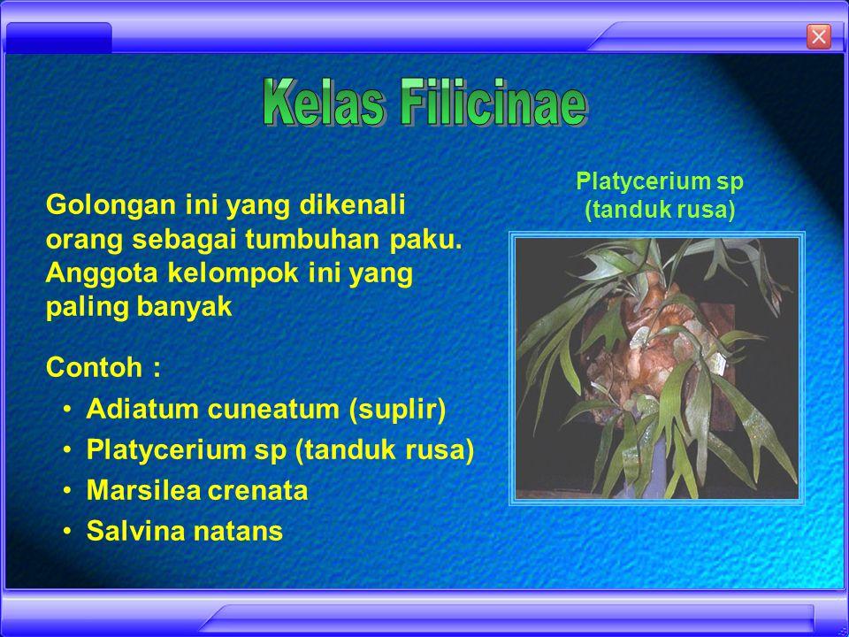 Ciri-ciri : Berdaun kecil dan tersusun spiral Sporangium muncul di ketiak daun dan berkumpul membentuk strobilus Batangnya seperti kawat Contoh : Lycopodium, Selaginella, dan Isoetes Lycopodium Selaginella