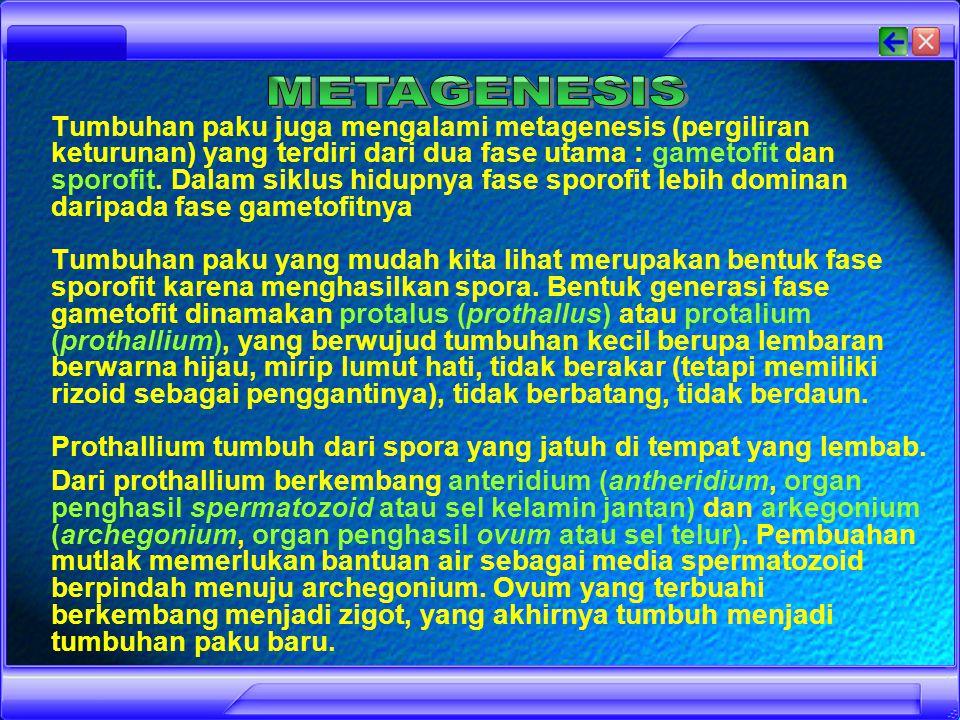 Paku Homosfor menghasilkan satu jenis spora saja, misalnya paku kawat (Lycopodium clavatum) Paku Heterospor menghasilkan dua jenis spora yaitu : mikrospora (jantan) dan makrospora (betina), misalnya paku rane (Selaginella wildenowii) dan semanggi (Marsilea crenata).