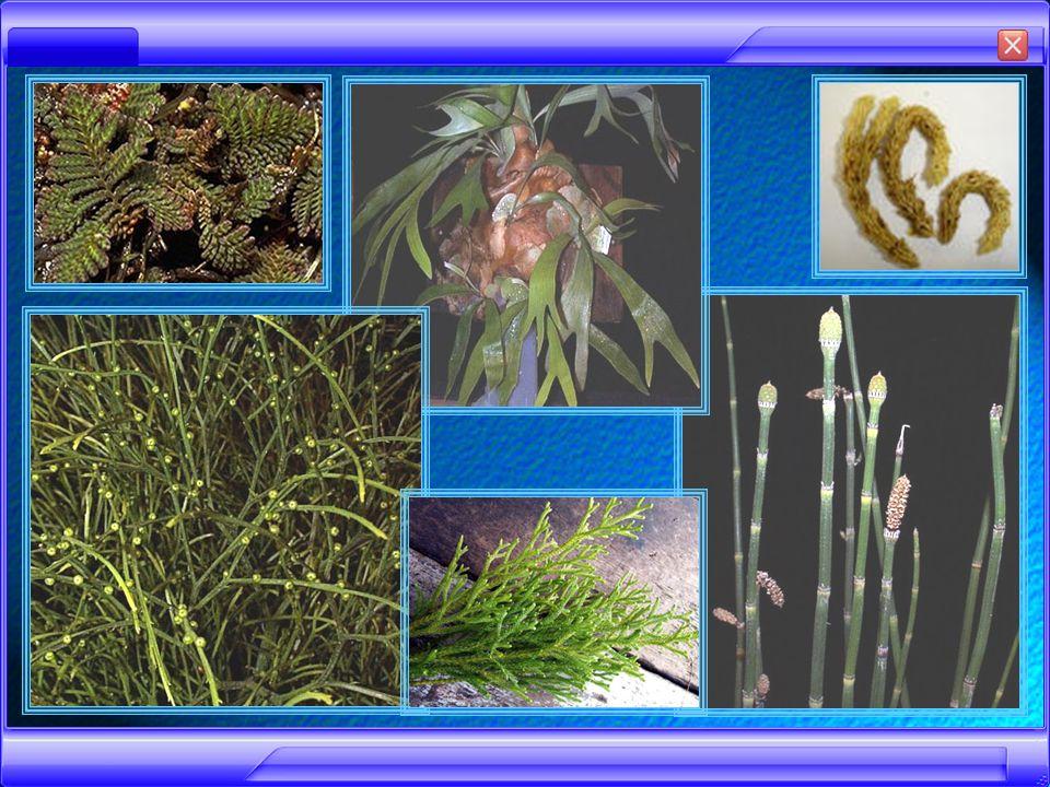 Sebagai pelindugn tanaman di persemaian : - Gleichenia linearis Sebagai pupuk hijau : - Azolla pinnata >> bersimbiosis dengan anabaena azollae (gangang biru)