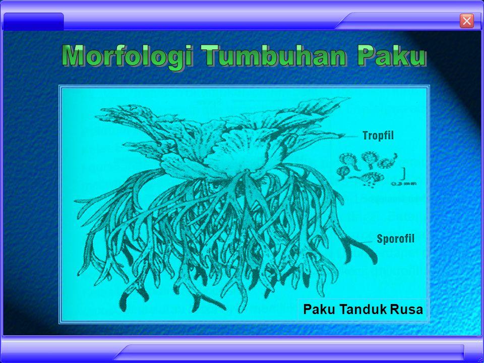 Divisi Pteridophyta (Tumbuhan Paku) Pteridophyta merupakan satu divisio tumbuhan yang telah memiliki sistem pembuluh sejati (kormus) tetapi tidak menghasilkan biji untuk reproduksinya Tumbuhan ini benar-benar telah berupa kormus, jelas adanya akar, batang dan daun.