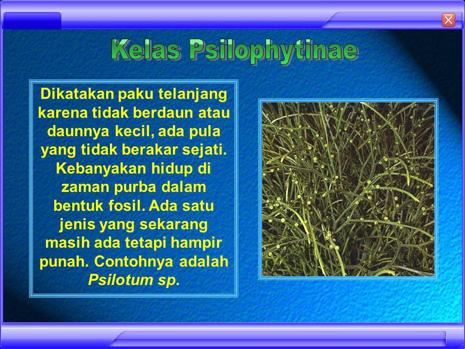 Tumbuhan paku dapat diklasifikasikan menjadi empat kelas, yaitu : Psilophytenae (Paku Telanjang) Equisetinae/Spenopsida Lycopodinae/Lycopsida Filicinae