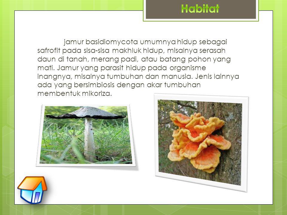 jamur basidiomycota umumnya hidup sebagai safrofit pada sisa-sisa makhluk hidup, misalnya serasah daun di tanah, merang padi, atau batang pohon yang m