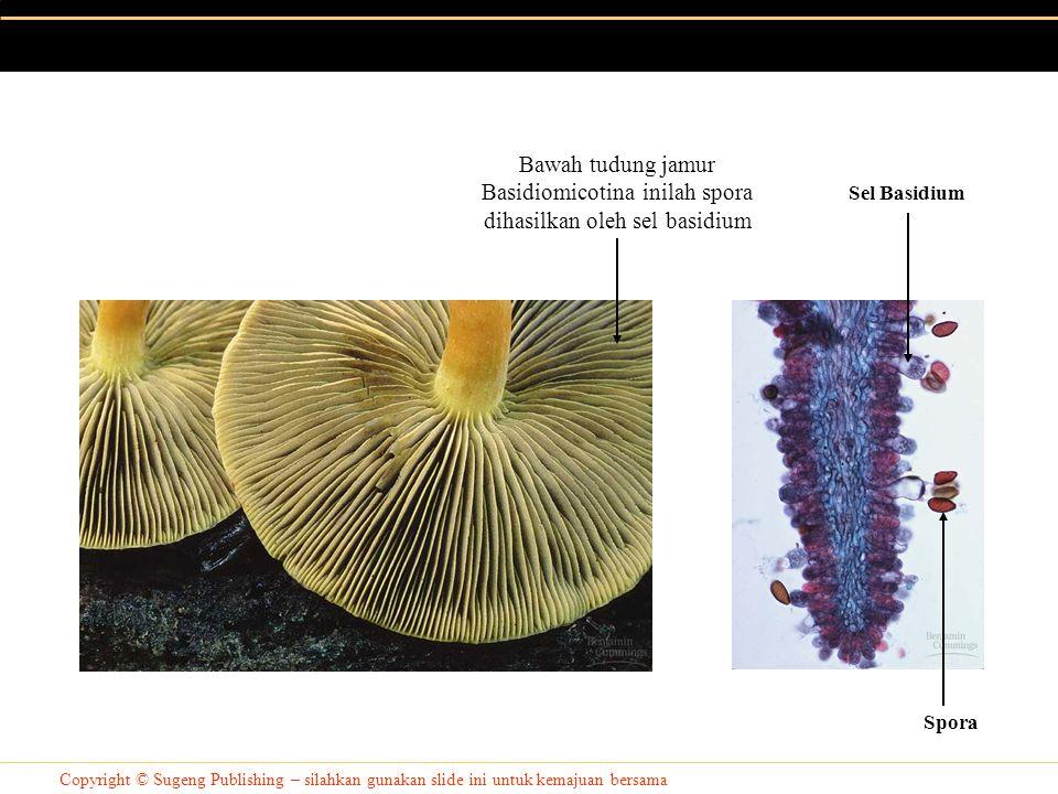 Copyright © Sugeng Publishing – silahkan gunakan slide ini untuk kemajuan bersama Bawah tudung jamur Basidiomicotina inilah spora dihasilkan oleh sel basidium Sel Basidium Spora