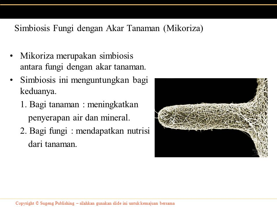 Copyright © Sugeng Publishing – silahkan gunakan slide ini untuk kemajuan bersama Mikoriza merupakan simbiosis antara fungi dengan akar tanaman.