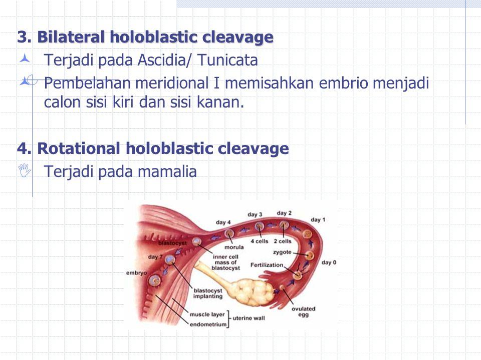 Bilateral holoblastic cleavage 3. Bilateral holoblastic cleavage Terjadi pada Ascidia/ Tunicata Pembelahan meridional I memisahkan embrio menjadi calo