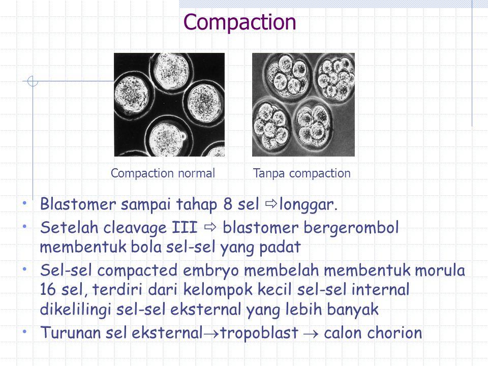 Compaction Blastomer sampai tahap 8 sel  longgar. Setelah cleavage III  blastomer bergerombol membentuk bola sel-sel yang padat Sel-sel compacted em
