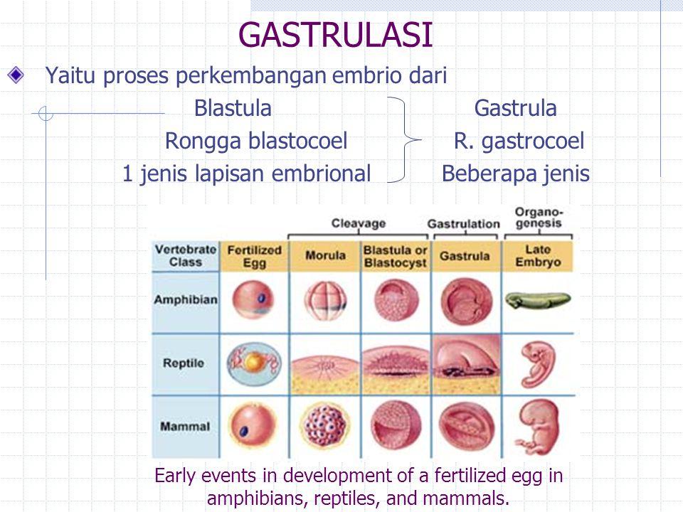 GASTRULASI Yaitu proses perkembangan embrio dari Blastula Gastrula Rongga blastocoel R.