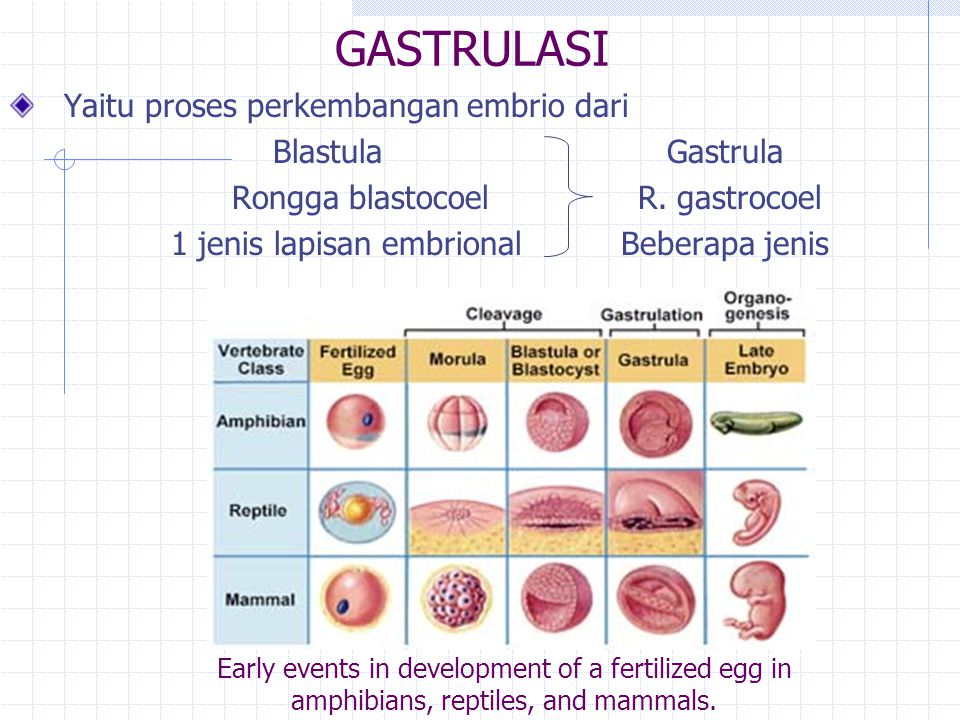 GASTRULASI Yaitu proses perkembangan embrio dari Blastula Gastrula Rongga blastocoel R. gastrocoel 1 jenis lapisan embrional Beberapa jenis Early even