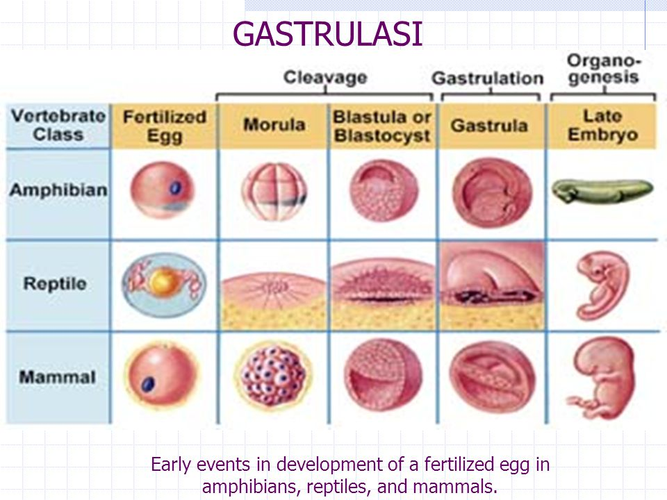 GASTRULASI Early events in development of a fertilized egg in amphibians, reptiles, and mammals.