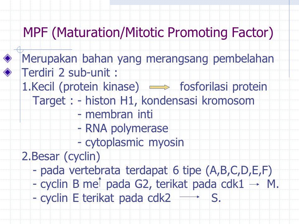MPF (Maturation/Mitotic Promoting Factor) Merupakan bahan yang merangsang pembelahan Terdiri 2 sub-unit : 1.Kecil (protein kinase) fosforilasi protein Target : - histon H1, kondensasi kromosom - membran inti - RNA polymerase - cytoplasmic myosin 2.Besar (cyclin) - pada vertebrata terdapat 6 tipe (A,B,C,D,E,F) - cyclin B me pada G2, terikat pada cdk1 M.