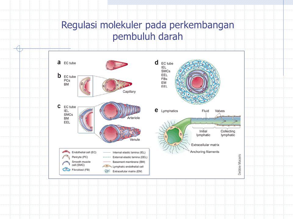 Regulasi molekuler pada perkembangan pembuluh darah