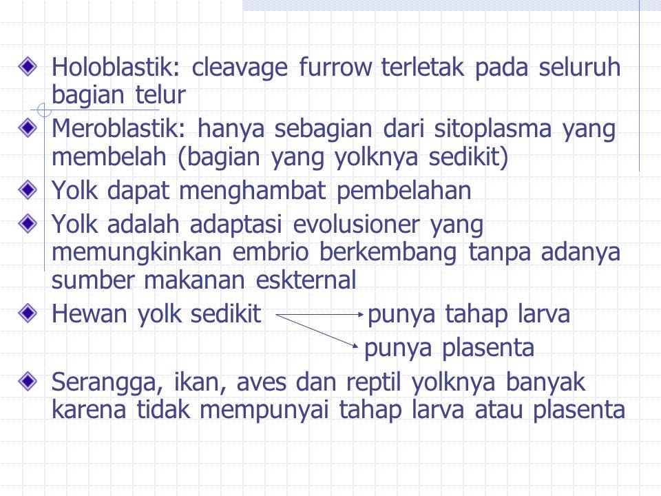 Holoblastik: cleavage furrow terletak pada seluruh bagian telur Meroblastik: hanya sebagian dari sitoplasma yang membelah (bagian yang yolknya sedikit) Yolk dapat menghambat pembelahan Yolk adalah adaptasi evolusioner yang memungkinkan embrio berkembang tanpa adanya sumber makanan eskternal Hewan yolk sedikit punya tahap larva punya plasenta Serangga, ikan, aves dan reptil yolknya banyak karena tidak mempunyai tahap larva atau plasenta