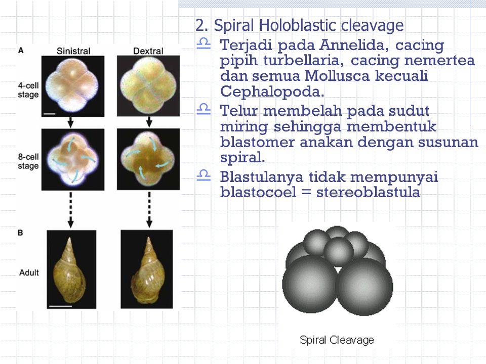 2. Spiral Holoblastic cleavage  Terjadi pada Annelida, cacing pipih turbellaria, cacing nemertea dan semua Mollusca kecuali Cephalopoda.  Telur memb