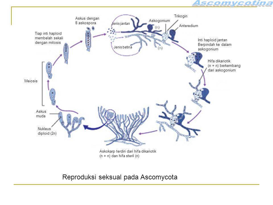 Askus dengan 8 askospora Jenis jantan Jenis betina Askogonium Trikogin Anteredium Inti haploid jantan Berpindah ke dalam askogonium Hifa dikariotik (n