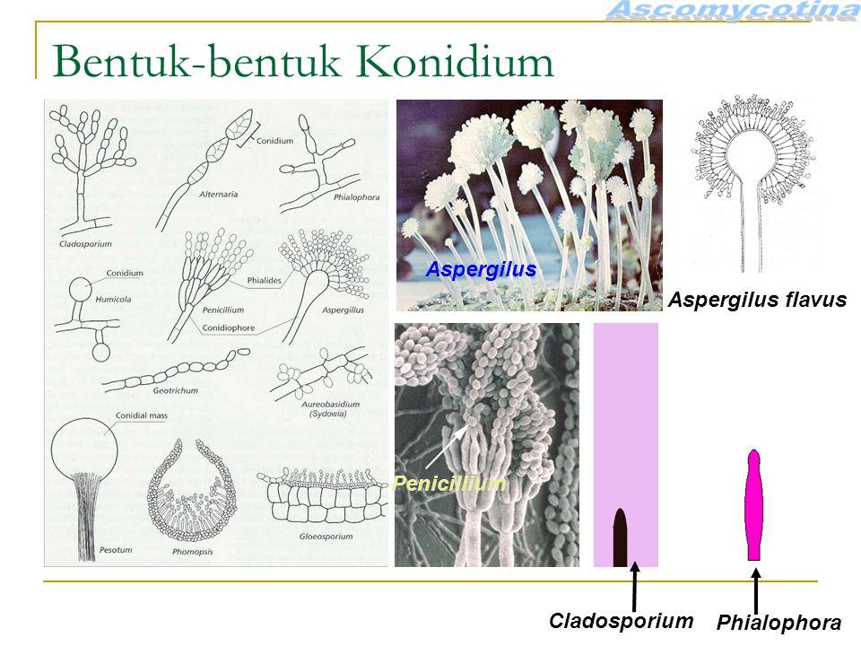 Bentuk-bentuk Konidium Aspergilus Penicillium Aspergilus flavus Cladosporium Phialophora