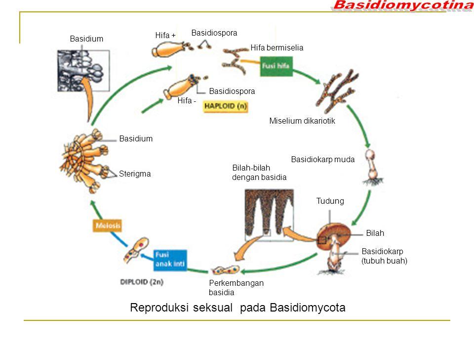 Basidiospora Hifa bermiselia Basidiospora Hifa - Hifa + Miselium dikariotik Basidiokarp muda Tudung Bilah Basidiokarp (tubuh buah) Bilah-bilah dengan basidia Perkembangan basidia Sterigma Basidium Reproduksi seksual pada Basidiomycota