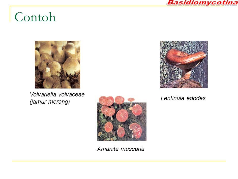 Volvariella volvaceae (jamur merang) Lentinula edodes Amanita muscaria Contoh