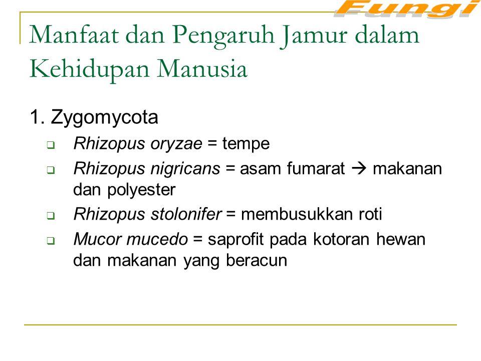 Manfaat dan Pengaruh Jamur dalam Kehidupan Manusia 1. Zygomycota  Rhizopus oryzae = tempe  Rhizopus nigricans = asam fumarat  makanan dan polyester