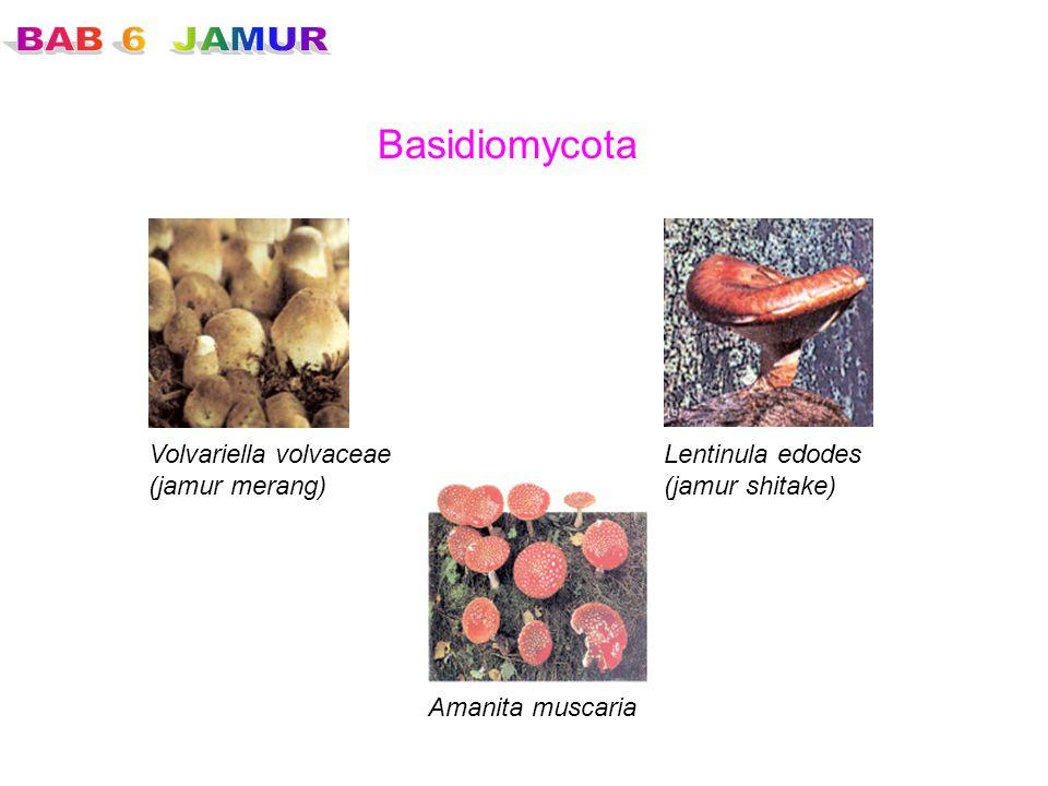 Basidiomycota Volvariella volvaceae (jamur merang) Lentinula edodes (jamur shitake) Amanita muscaria