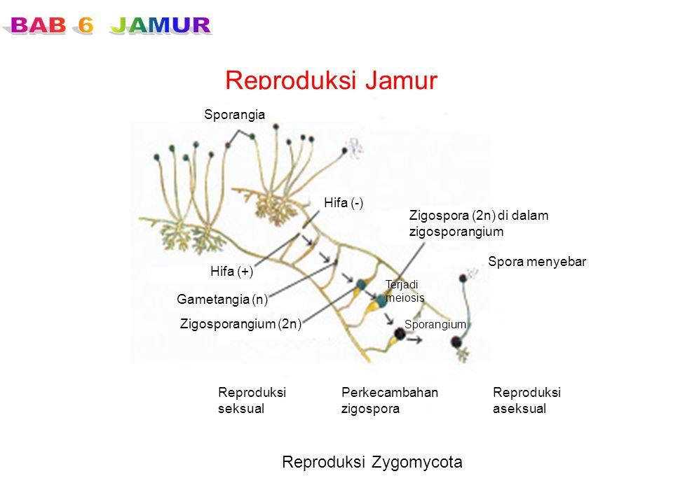 Reproduksi Jamur Reproduksi Zygomycota Sporangia Hifa (-) Zigospora (2n) di dalam zigosporangium Spora menyebar Sporangium Reproduksi aseksual Perkeca