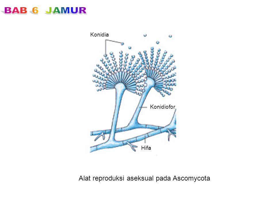 Alat reproduksi aseksual pada Ascomycota Konidia Konidiofor Hifa