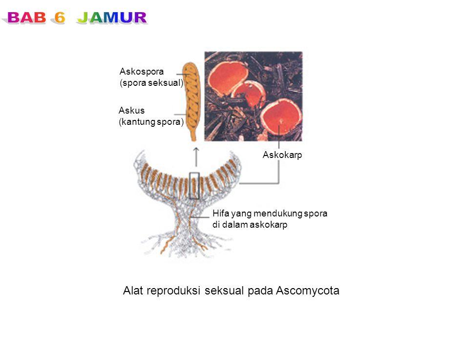 Alat reproduksi seksual pada Ascomycota Askospora (spora seksual) Askus (kantung spora) Askokarp Hifa yang mendukung spora di dalam askokarp