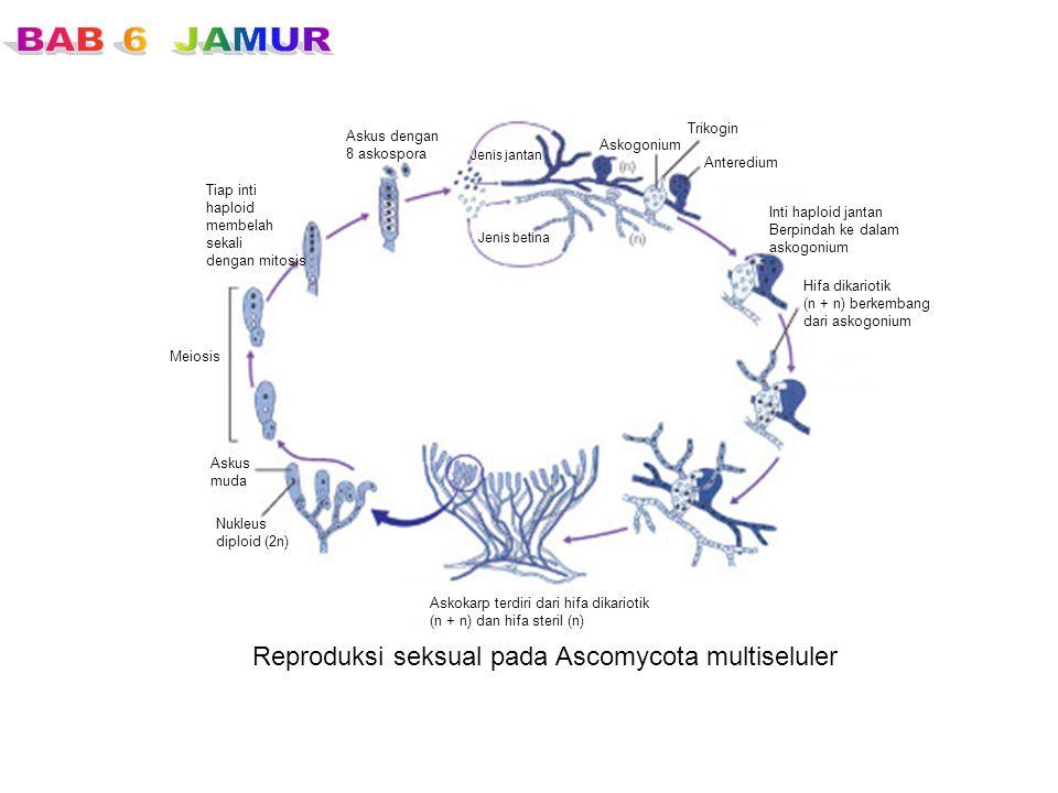 Reproduksi seksual pada Ascomycota multiseluler Askus dengan 8 askospora Jenis jantan Jenis betina Askogonium Trikogin Anteredium Inti haploid jantan
