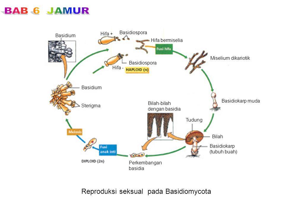 Reproduksi seksual pada Basidiomycota Basidiospora Hifa bermiselia Basidiospora Hifa - Hifa + Miselium dikariotik Basidiokarp muda Tudung Bilah Basidi