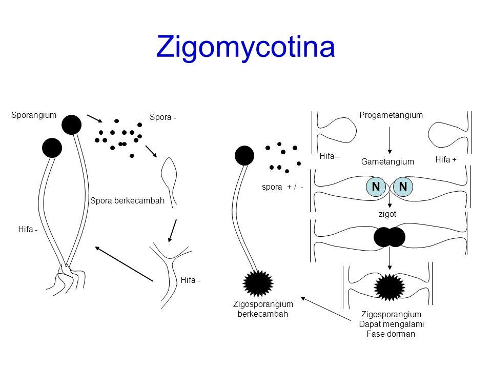Zigomycotina Sporangium Spora - Spora berkecambah Hifa - NN NN Progametangium Gametangium zigot Zigosporangium Dapat mengalami Fase dorman Zigosporang