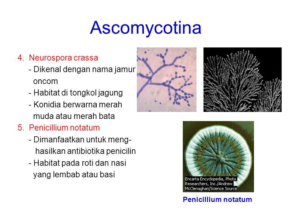 Ascomycotina 4. Neurospora crassa - Dikenal dengan nama jamur oncom - Habitat di tongkol jagung - Konidia berwarna merah muda atau merah bata 5. Penic