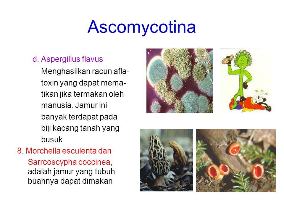 Ascomycotina d. Aspergillus flavus Menghasilkan racun afla- toxin yang dapat mema- tikan jika termakan oleh manusia. Jamur ini banyak terdapat pada bi