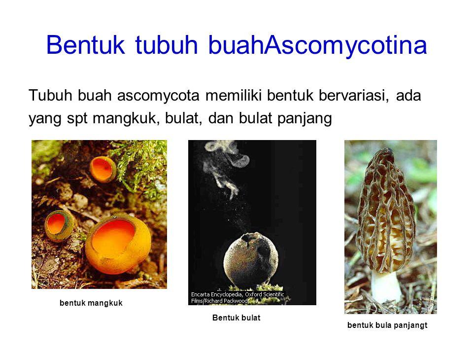 Bentuk tubuh buahAscomycotina Tubuh buah ascomycota memiliki bentuk bervariasi, ada yang spt mangkuk, bulat, dan bulat panjang bentuk mangkuk Bentuk b