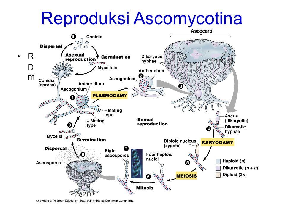 Reproduksi Ascomycotina REPRODUKSI GENERATIF Dilakukan dengan menggunakan ascus