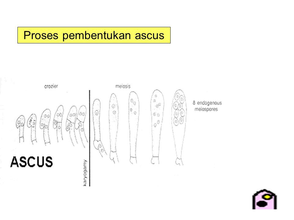 Proses pembentukan ascus