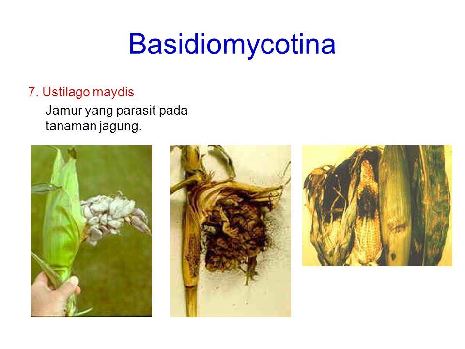 Basidiomycotina 7. Ustilago maydis Jamur yang parasit pada tanaman jagung.