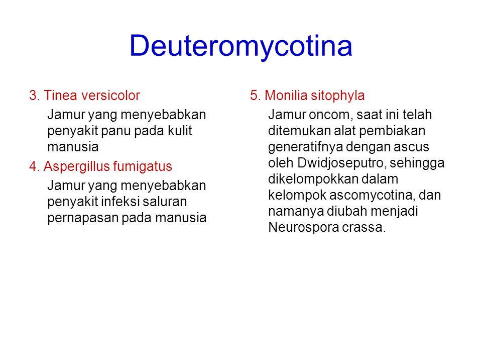 Deuteromycotina 3. Tinea versicolor Jamur yang menyebabkan penyakit panu pada kulit manusia 4. Aspergillus fumigatus Jamur yang menyebabkan penyakit i