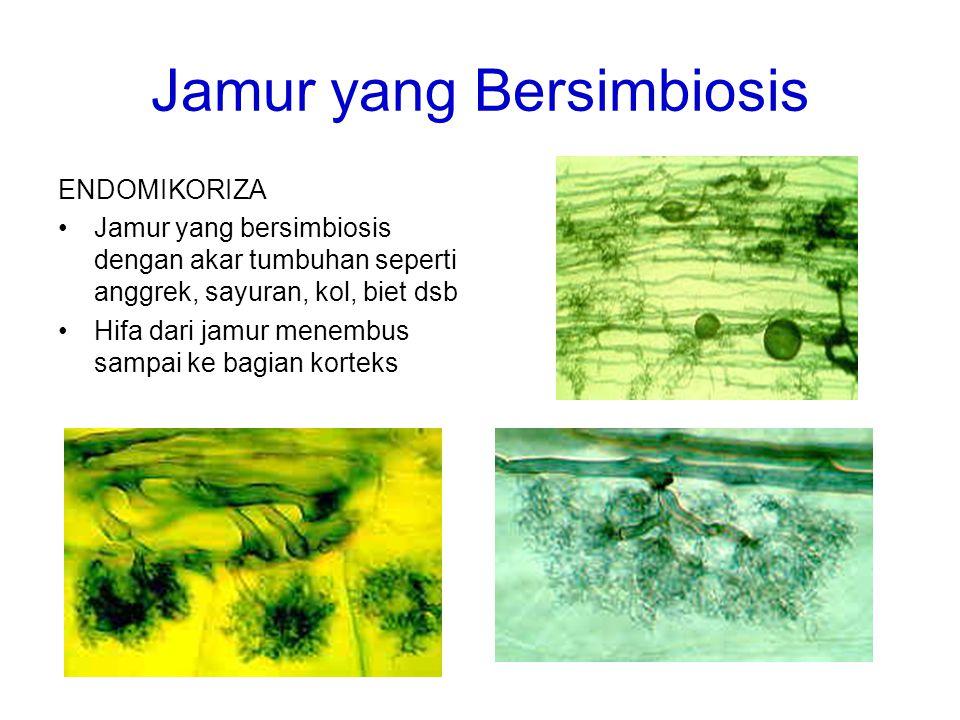 Jamur yang Bersimbiosis ENDOMIKORIZA Jamur yang bersimbiosis dengan akar tumbuhan seperti anggrek, sayuran, kol, biet dsb Hifa dari jamur menembus sam