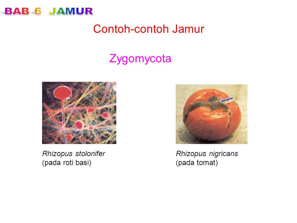 Contoh-contoh Jamur Zygomycota Rhizopus stolonifer (pada roti basi) Rhizopus nigricans (pada tomat)
