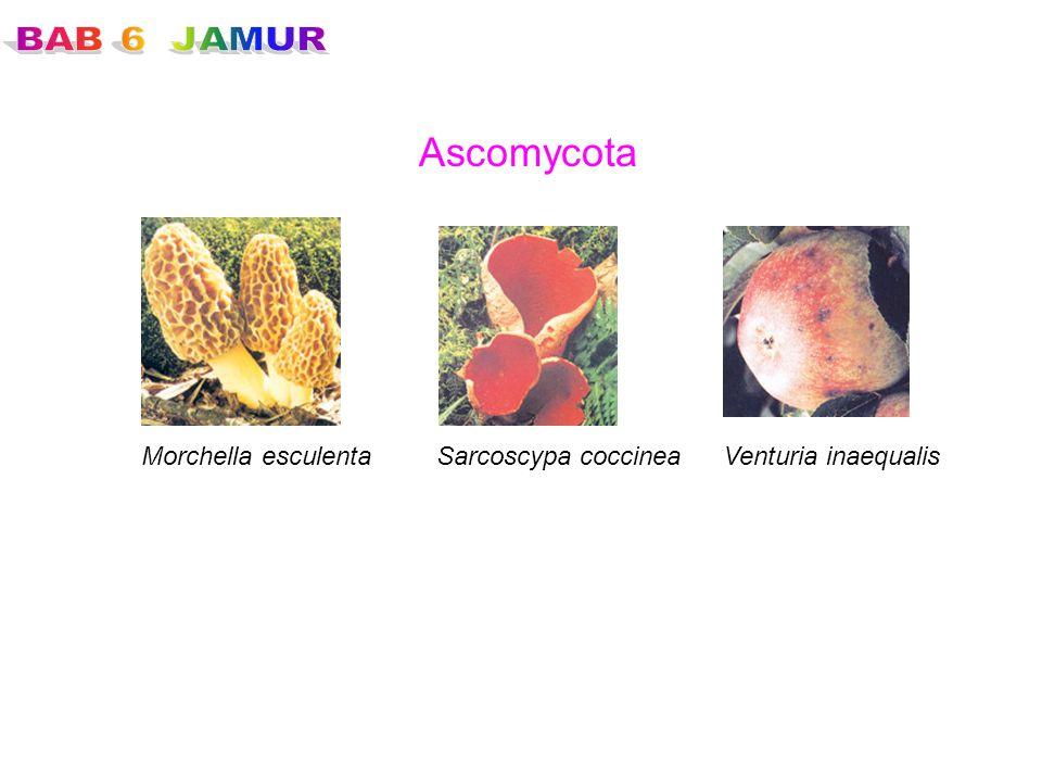Ascomycota Morchella esculentaSarcoscypa coccineaVenturia inaequalis