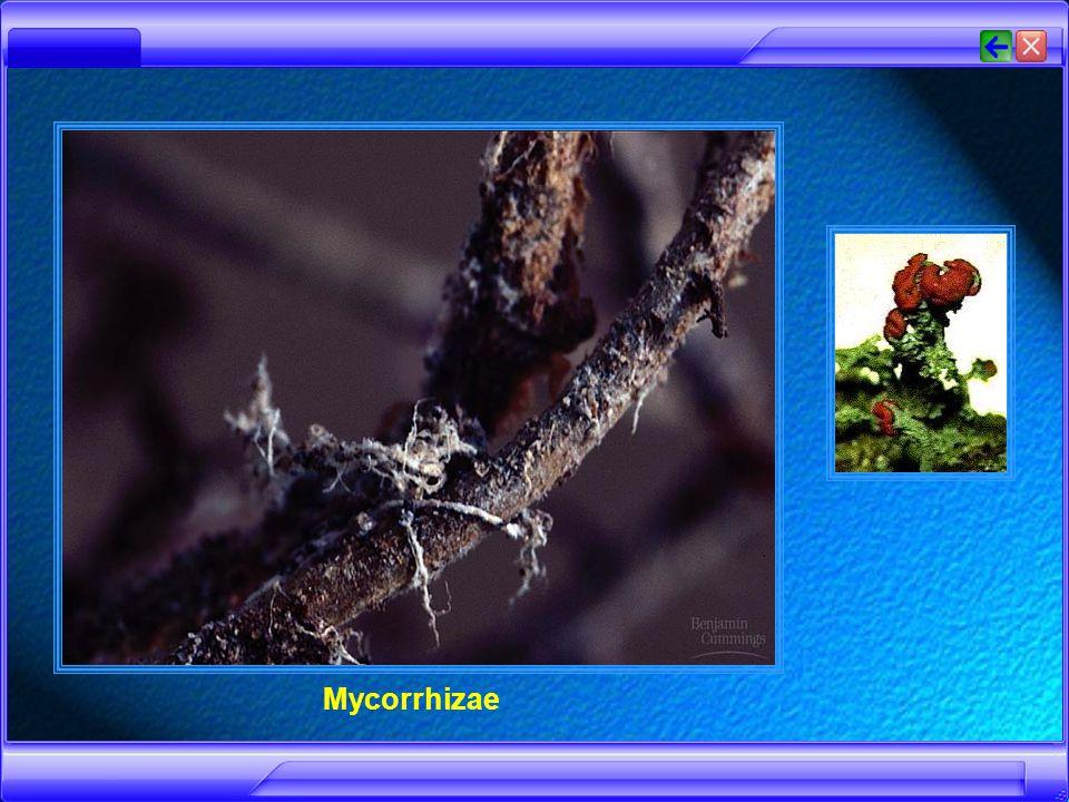 Lichenes (Lumut Kerak) adalah simbiosis mutualisme antar jamur Ascomycotina atau Basidiomycotina dengan ganggang Cyanophyta / Chlorophyta.