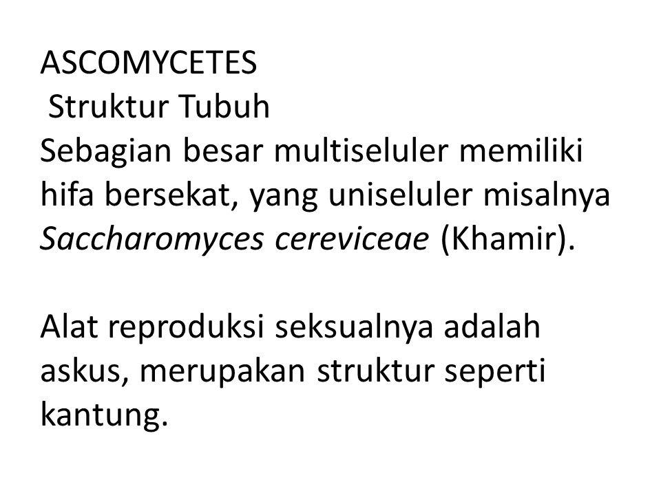 ASCOMYCETES Struktur Tubuh Sebagian besar multiseluler memiliki hifa bersekat, yang uniseluler misalnya Saccharomyces cereviceae (Khamir). Alat reprod