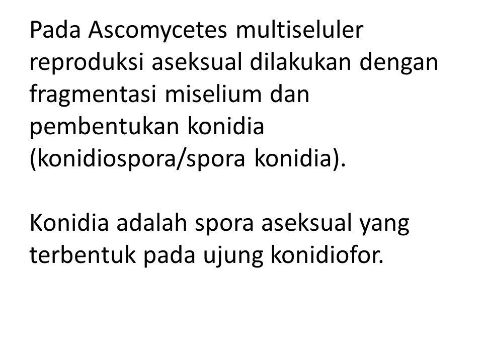 Pada Ascomycetes multiseluler reproduksi aseksual dilakukan dengan fragmentasi miselium dan pembentukan konidia (konidiospora/spora konidia). Konidia