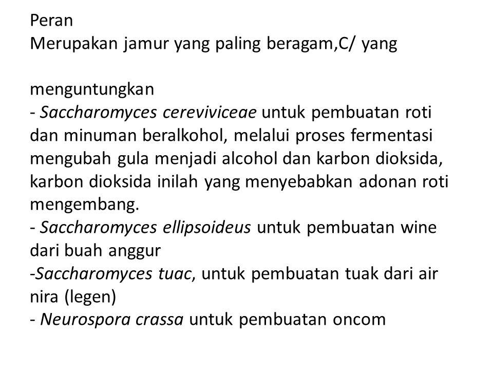 Peran Merupakan jamur yang paling beragam,C/ yang menguntungkan - Saccharomyces cereviviceae untuk pembuatan roti dan minuman beralkohol, melalui pros