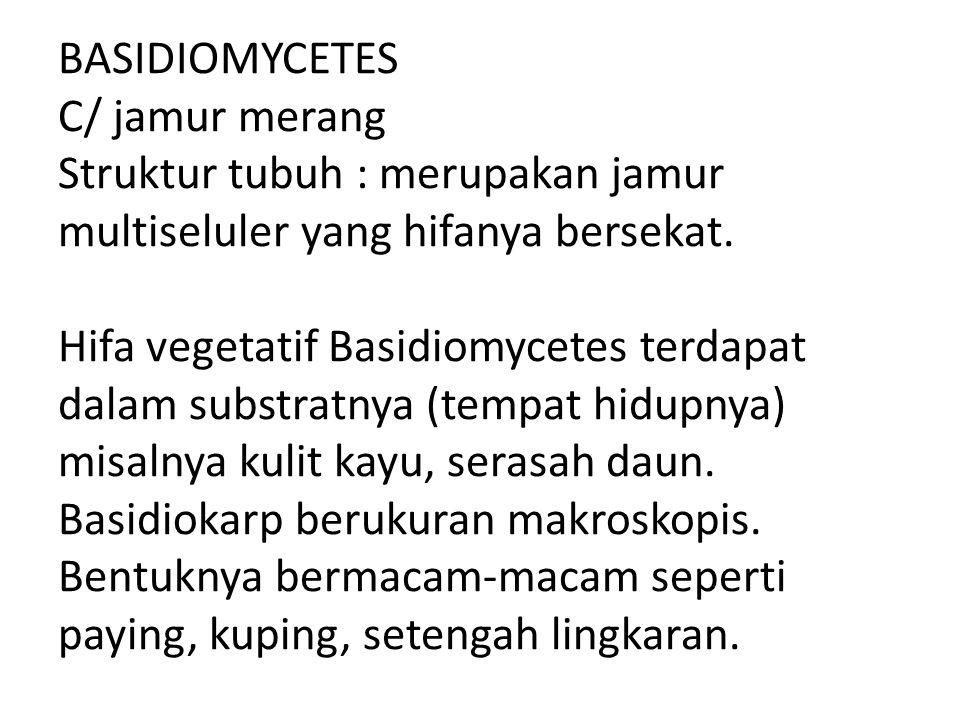 BASIDIOMYCETES C/ jamur merang Struktur tubuh : merupakan jamur multiseluler yang hifanya bersekat. Hifa vegetatif Basidiomycetes terdapat dalam subst