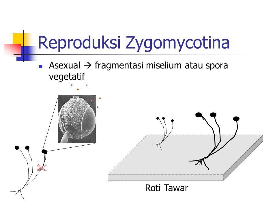 Reproduksi Zygomycotina Asexual  fragmentasi miselium atau spora vegetatif Roti Tawar 